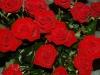 rosen-rot
